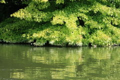 Deciduous tree. On the banks of a river Stock Image