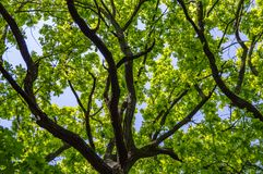 Deciduous tree against the blue sky royalty free stock images