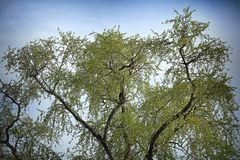Deciduous tree against the sky. Green dense branches of a deciduous tree and blue sky stock photography