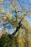 Deciduous tree in autumn. Tree crown with branches and twigs in the autumn when the sun shines Stock Photos