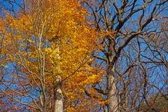 Deciduous Tree In Autumn Royalty Free Stock Photo
