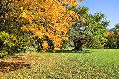Deciduous tree in autumn Stock Photography