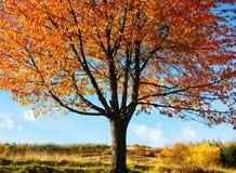 Deciduous tree background. Deciduous tree during autumn season royalty free stock photo
