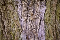 Deciduous tree bark Stock Photos