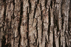 Deciduous tree bark Stock Image