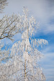 Deciduous tree branch covered with snow and frost. Winter season Stock Photo