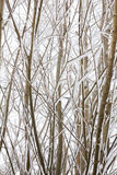 Deciduous tree branches covered in snow Stock Images