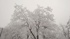 The deciduous tree is covered with hoarfrost. A strong wind shakes the branches of a tree. Winter weather, cloudy sky stock video