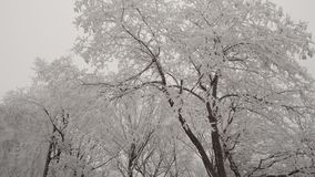 The deciduous tree is covered with hoarfrost. A strong wind shakes the branches of a tree. Winter weather, cloudy sky stock video footage