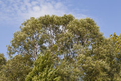 Deciduous tree crown Royalty Free Stock Images