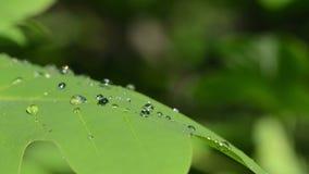 Deciduous tree dew drops stock video footage