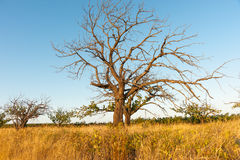 Deciduous tree in dry field of brown grass Royalty Free Stock Images