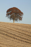 Deciduous tree in field Stock Images