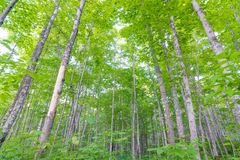 Deciduous tree forest with green leaves in the Porcupine Mountains Wilderness State Park in the Upper Peninsula of Michigan - look. Ing from ground up to the sky stock photos