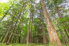 Deciduous tree forest with green leaves in the Porcupine Mountains Wilderness State Park in the Upper Peninsula of Michigan - look. Ing from ground up to the sky stock photo