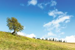 Deciduous tree on the grassy hill. Spruce forest in the distance. early autumn sunny weather, beautiful sky with dynamic clouds royalty free stock photos