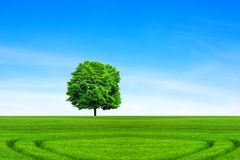 Deciduous tree on a green meadow under blue sky. Green meadow during sunny day royalty free stock images