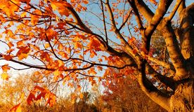 Free Deciduous Tree In Autumn Royalty Free Stock Photo - 130534355