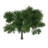 Deciduous tree. A deciduous tree isolated on white background Royalty Free Stock Photography
