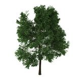 Deciduous tree. A deciduous tree isolated on white background Royalty Free Stock Photo