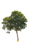 deciduous tree Royalty Free Stock Photo