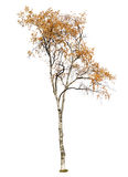 Deciduous tree isolated Royalty Free Stock Image