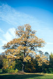 Deciduous tree in the park Royalty Free Stock Photography