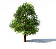 Deciduous tree rendered Royalty Free Stock Image
