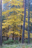 Deciduous tree in the spruce forest in autumn Stock Image