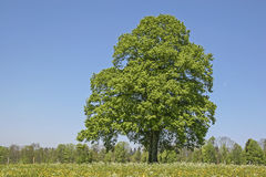 Deciduous tree in summer. Landscape with meadow and deciduous tree with a cloudless blue sky Stock Image