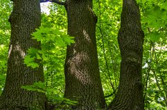 Deciduous tree with triple trunk. Background stock image