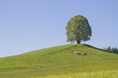 Deciduous tree on the Veigl mountain Royalty Free Stock Photo