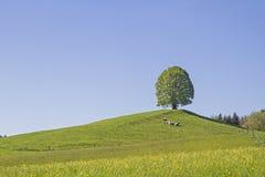 Deciduous tree on the Veigl mountain Royalty Free Stock Image