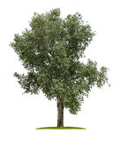 Deciduous tree on a white background Royalty Free Stock Photography