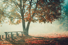 Deciduous tree with yellow leaves, old wooden bench in the autumn morning fog Stock Images