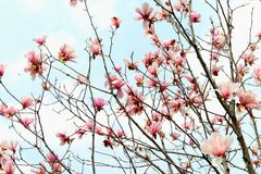 Magnolia biondii-Magnolia flower. Deciduous trees。 Winter buds densely grayish green hair. Ye Husheng. Flower first leaves are open, erect, bell shaped Royalty Free Stock Photo