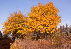 Deciduous trees in autumn royalty free stock photography