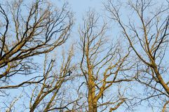 Deciduous trees in early spring from bellow. Looking up through the bare deciduous trees in early spring Royalty Free Stock Photography