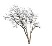 Deciduous trees. Isolated on a white background Stock Photos