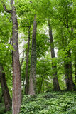 Deciduous trees in the overgrown forest Stock Image
