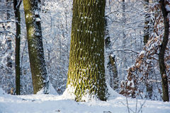 Deciduous trees in a snowy forest Stock Photography