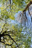Deciduous trees in the spring. Foliage of deciduous trees in the spring Stock Photography