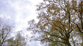 Deciduous trees view from below. overcast sky. lantern lighting. Deciduous trees view from below. overcast sky stock video