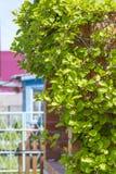 Deciduous vine Chinese Magnolia vine  lat.Schisandra chinensis Stock Photos
