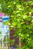 Deciduous vine Chinese Magnolia vine  lat.Schisandra chinensis Royalty Free Stock Photo