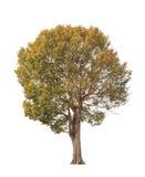 Deciduous Wild Almond tree (Irvingia malayana) Stock Image