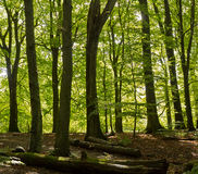 Deciduous woodland Royalty Free Stock Photography