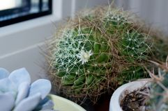 Decipiens del Mammillaria que florecen en travesaño de la ventana Fotos de archivo libres de regalías