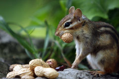 Decisions. Chipmunk with a peanut in her mouth and lots more on the ground Royalty Free Stock Photos
