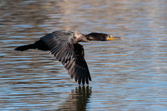 On the deck. Double crested Cormorant flying low over the surface of the lake Royalty Free Stock Photography